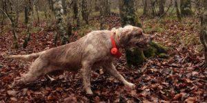 Cane in ferma schiacciato con beeper