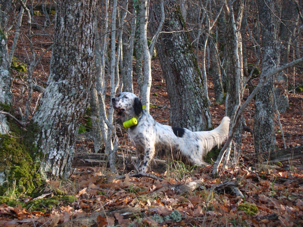 Setter inglese in ferma con Beeper nel bosco