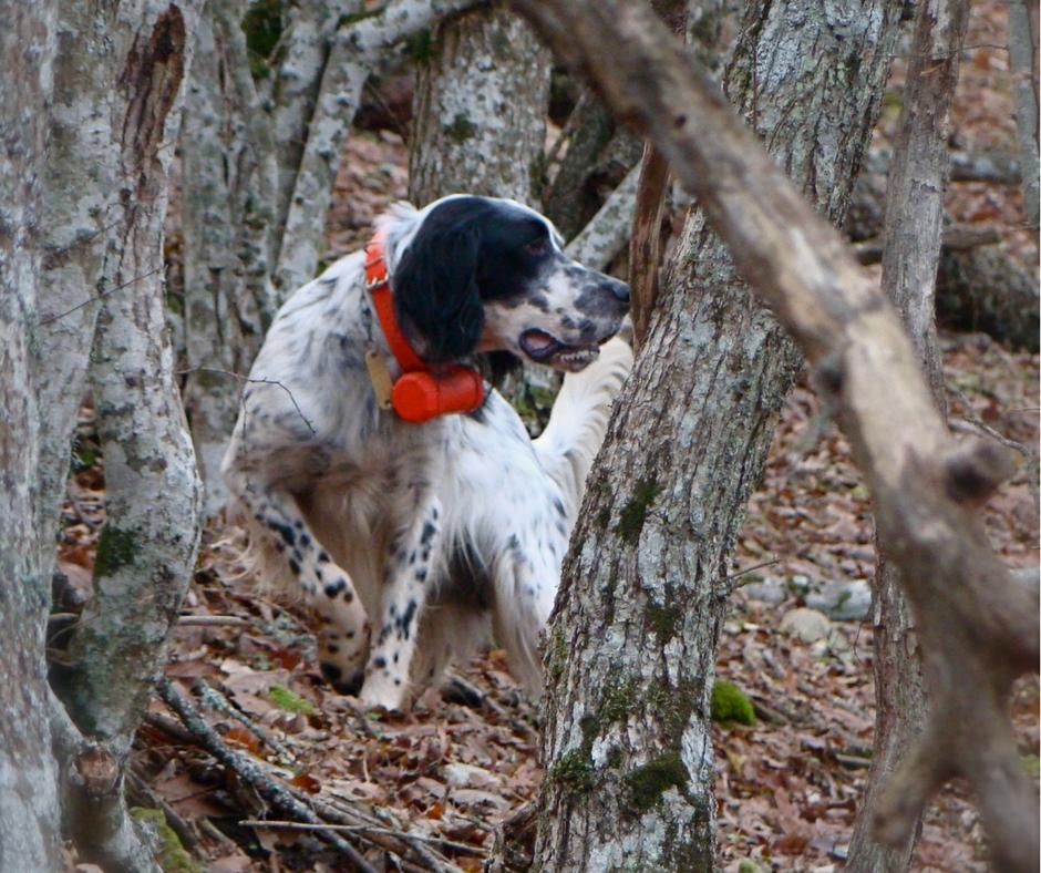 Setter in ferma di colore bianco e nero che indossa fiero il beeper 2000 arancio, il cane è nel fitto bosco
