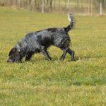 Cane che annusa alla ricerca di quaglie