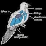 Uccello-Trachea-siringe