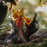 uccellini con becco aperto che aspettano il cibo della mamma