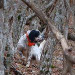 Setter nel bosco con Beeper 2000 xp